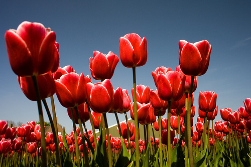 Tulips in Amsterdam, photos by Jan Ramroth