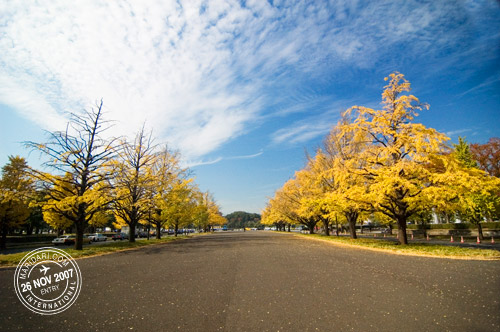 Yellow Leaves in Autumn, Tokyo