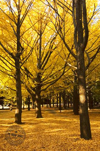Yoyogi Park Ginkgo Forest