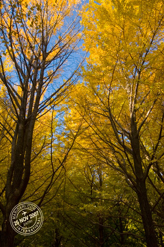 Yoyogi Park Ginkgo Leaves