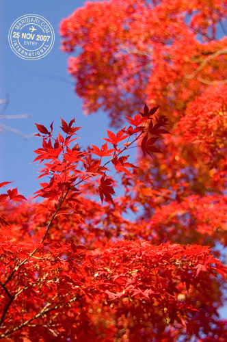 Yoyogi Park Red Japanese Maple Leaves
